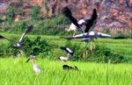 """Đàn """"chim lạ"""" gần Công trình thủy điện Lai Châu là cò nhạn"""