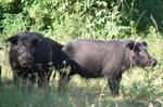 Xuất hiện nhiều lợn rừng ở vườn quốc gia U Minh Hạ