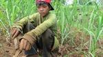 Trẻ em Philíppin mưu sinh trên cánh đồng mía
