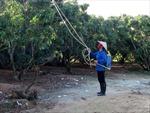 Lục Ngạn sẵn sàng cho mùa thu hoạch vải thiều