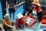 Ngư dân Lý Sơn (Quảng Ngãi) trúng đậm hải sâm