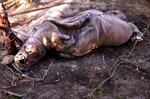 220 con tê giác bị bắn trộm tại Nam Phi