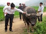 Độc đáo chợ trâu Hùng Lợi