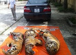 Nổ súng truy bắt xế hộp chở 3 con hổ