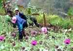 Bắc Giang: Tiêu huỷ 400 kg cây thuốc phiện trồng ở các hộ dân