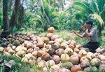 Giá dừa khô giảm thê thảm còn 1.000 đồng/trái