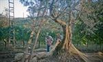 Ảm đạm nghề trồng ôliu ở Tây Ban Nha