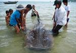Cá voi nhám sa lưới ngư dân