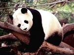 Malaixia mượn gấu trúc Trung Quốc