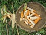 Nông dân thất thu vì ngô… không hạt