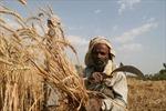 Ấn Độ có kế hoạch xuất khẩu hai triệu tấn lúa mì