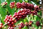 Đồng Nai - Cà phê xuất khẩu được giá