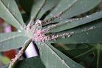 Lần đầu xuất hiện rệp lạ hại sắn ở Việt Nam