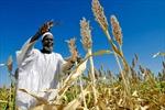 FAO: Sản lượng ngũ cốc toàn cầu sẽ giảm