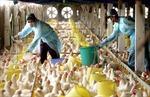 Mexico giết 2,5 triệu gia cầm để ngăn cúm gà