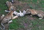 Hãi hùng cảnh hổ lớn ăn thịt hổ bé vì đói