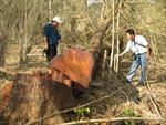 Hai cây giáng hương bị đốn hạ ngay gần trạm kiểm lâm