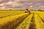 Nhân rộng cánh đồng mẫu lớn: Hiệu quả bước đầu