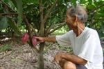Cây ca cao giúp đồng bào dân tộc ở Đắk Lắk xóa nghèo