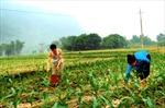 Hiệu quả từ chuyển đổi lúa nương sang ngô đồi ở Yên Bái