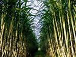 Đầu tư trên 110 tỷ đồng trồng mía tại Campuchia