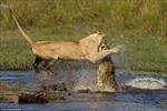 Ấn tượng cuộc chiến sư tử - cá sấu