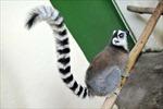 Vượn cáo ở Madagascar