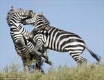 Ác liệt cuộc chiến ngựa vằn