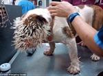 Cô chó bị 500 chiếc lông nhím găm đầy mặt