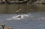 Cuộc thoát hiểm của chú linh dương trước bầy cá sấu