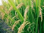 Tạo được giống lúa cho đất cằn cỗi