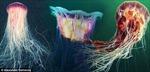 Hình ảnh đẹp như tranh vẽ của sứa biển sư tử