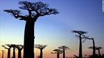Số phận mong manh của 'cây lộn ngược' ở Madagascar