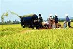 Nông dân miền Bắc chật vật vì giá lúa thấp