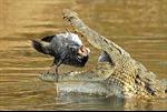 Tự làm mồi cho cá sấu vì bị trầm cảm?