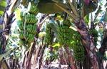 Chuối Laba đặc sản Lâm Đồng được công nhận nhãn hiệu tập thể