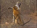 Ác liệt cuộc chiến song hổ