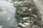 Cá chết hàng loạt gây ô nhiễm nặng hồ Văn Quán, Hà Nội