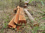 Rừng Tây Nguyên 5 năm mất khoảng 130.000 ha