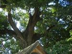 Công nhận hai cây muỗm chùa Phổ Minh là Cây Di sản