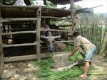Hướng thoát nghèo từ chăn nuôi đại gia súc