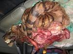 Xe ô tô chở xác hổ mới bị giết