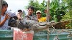 Không tắm sông đề phòng cá sấu sổng chuồng