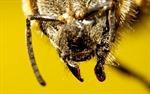 Ong cũng có thể cắn như rắn