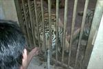 Nghệ An vào cuộc vụ nuôi nhốt hổ trái phép