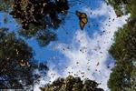 Mùa bướm di cư