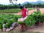 Huyện Ba Tơ làm giàu từ phát triển rừng