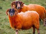 Nhuộm lông cho cừu để chống 'cừu tặc'