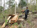 """Liên tiếp chặt phá rừng trước """"mũi"""" cơ quan chức năng"""