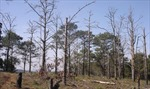 Nguy cơ 'xóa sổ' rừng thông phòng hộ tại Đắk Nông